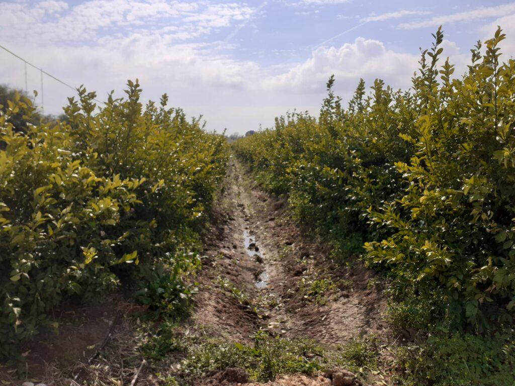 Antalya – Aksu Mayer Limon Sık ve Sırta Dikim Örnek Bahçesi